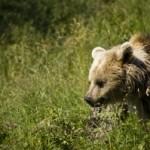 Björn har setts i Tidaholm