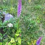 Orkidéer praktsporre