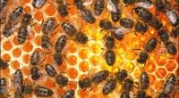 Våren är kommen! Bina har vaknat! Kan ni höra surret? Nu samlar de vatten och pollen. Och krokusen är bland de första vårprimörerna bina samlar nektar ifrån. I de flesta […]