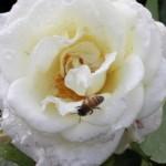 Bristen på bin ger stora konsekvenser