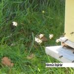 Sista flygturen för bina