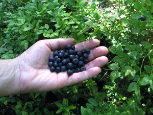 Hälsosamt att äta honung och blåbär