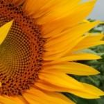 Blommor bestämmer honungens färg och smak